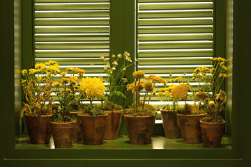 Yellow flowers in clay pots