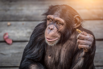 Young Chimpanzee Portrait closeup