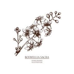 Vector hand drawn illustration of Olibanum-tree - Boswellia sacra. Vintage Perfumery and cosmetics materials sketch.