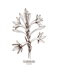 Ink hand drawn tuberose (Polianthes tuberosa) isolated on white background. Vector illustration of highly detailed aromatic plant. Perfumery ingredient and materials.