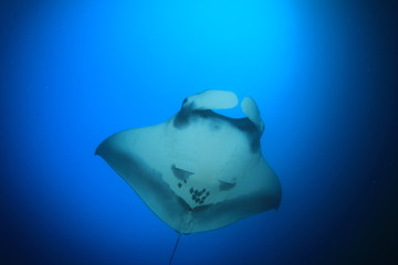 Manta Ray underwater in ocean