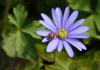 Marienkäfer auf Anemone