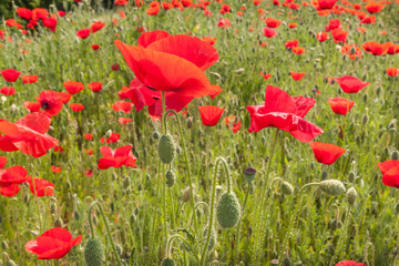 Field with poppy