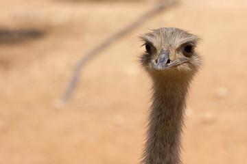 ostrich in Limassol zoo park, Cyprus