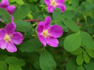 Wild rose flower closeup