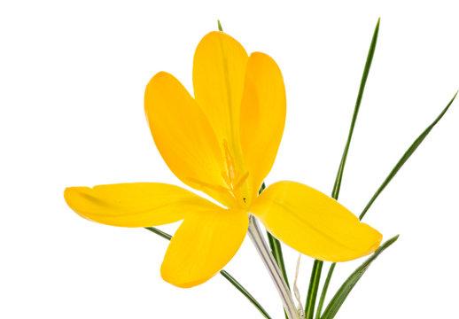 Isolated yellow crocus flower blossom