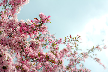beautiful season is spring/ fruit tree blossoms magnificently pink and white flowers in the spring in the park