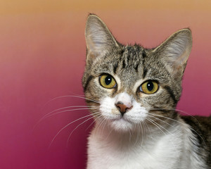 White and gray stripped tabby cat with white chest and yellow eyes on a pink and yellow mottled background looking watching with yellow eyes.