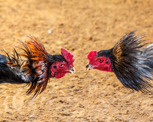 Gamecock fighting blurred