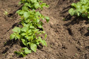 Kartoffelbeet im Garten