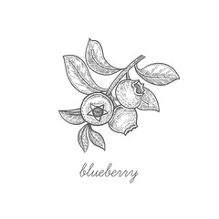Vector illustration of berry blueberries.