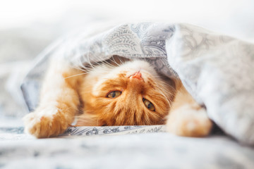 Foto op Plexiglas Kat Cute ginger cat lying in bed under a blanket. Fluffy pet comfortably settled to sleep. Cozy home background with funny pet.
