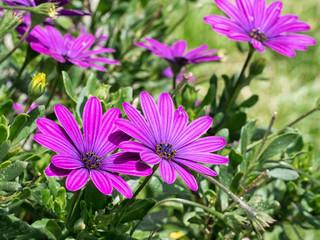 Osteospermum flowers in garden in sunshine. Aka Cape daisy.