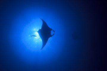 Manta Ray fish in sea