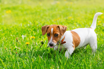 Puppy jack russell put out his tongue.