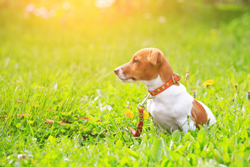 Puppy jack russell terrier for a walk in the park at sunset ligh