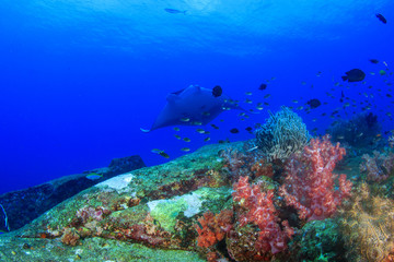 Coral reef fish and manta ray