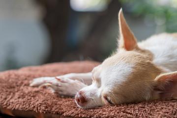 Sleepy cute chihuahua lay on mattress. Short hair chihuahua dog.