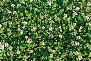 meadow with full of white clover