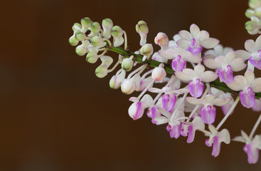 Beautiful wild flower orchid, Ascocentrum or Vandaceous Orchid,R