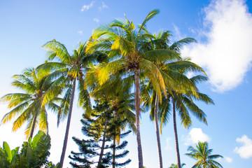Cocotiers, palmiers, arbres exotiques