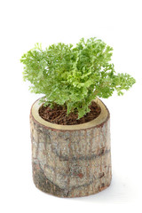 fern,house plant in a pot on white background