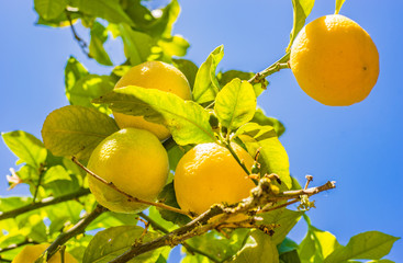 Wall Mural - Yellow lemons