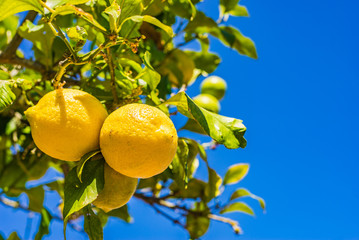 Wall Mural - Lemon tree