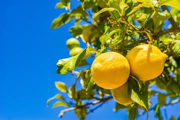 Fototapete - Frische Zitronen