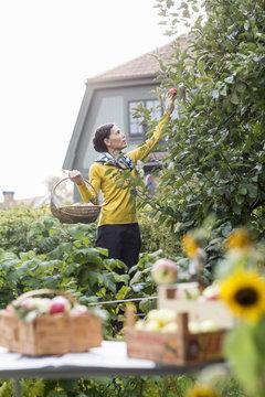 Woman picking apples in garden, Stockholm, Sweden