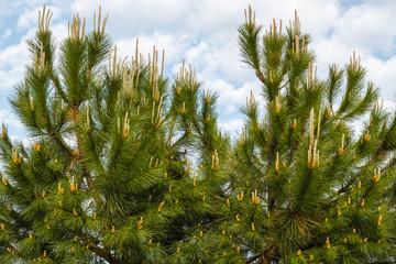 Ramas de Pino Piñonero. Pinus pinea.