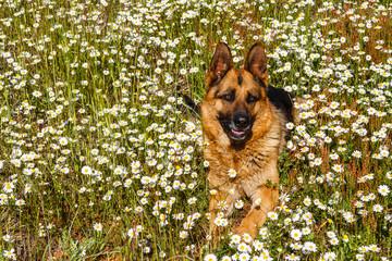 Perro Pastor Alemán tumbado entre las margaritas.