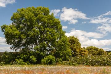 Encinar. Quercus ilex.