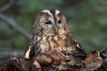 Ashy faced owl, sitting in a pile of leaves