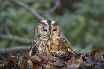 Tawny owl, Strix aluco, sitting in a pile of leaves
