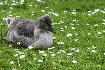 Baby Canada Goose on grass and daisies