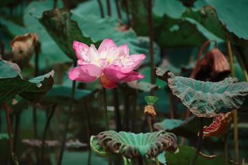 Lotus Flower, Thailand