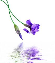 spring flowers  iris isolated on white background. beautiful flo