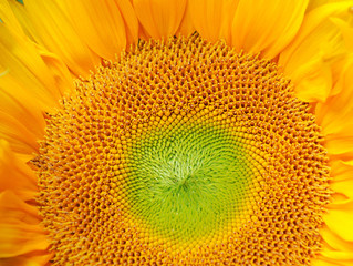 close up on the sunflower