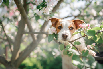Dog Jack Russell sitting on a tree