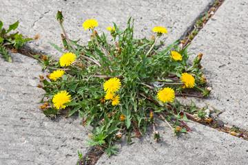 Dandelion, taraxacum officinale, growing on pavement