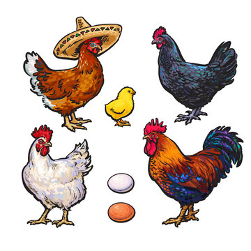 Set of different chickens, vector sketch hand-drawn illustration isolated on white background, with three hens rooster tsiplenokm and different eggs, chicken sombrerro, bird family