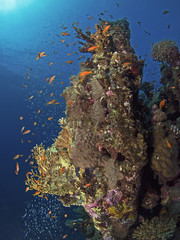 Red Sea coral reef scenery