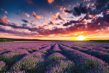 Poster Platteland Lavender flower blooming fields in endless rows. Sunset shot.