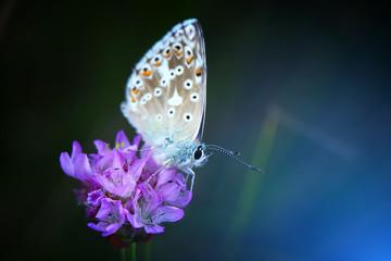 Motyl modraszek na fioletowym kwiatku. Ciemne tło w tonacji niebieskiej