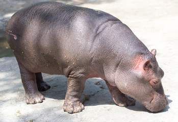 a small hippopotamus in the zoo