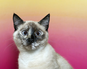 Cross eyed seal point siamese kitten looking forward with a pink and yellow textured background. blue eyes.