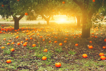 tangerine or orange trees with lying ripe fruits