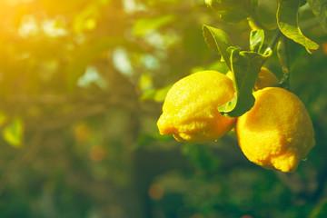 Lemon. Ripe Lemons hanging on tree. Growing Lemon