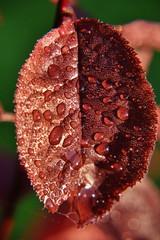 burgundy  leaf with dew